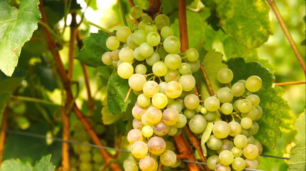 furmint_grapes